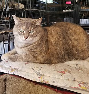 Domestic Shorthair Cat for adoption in Lombard, Illinois - Polly