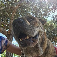 Shar Pei Mix Dog for adoption in Orlando, Florida - Audacious Alice
