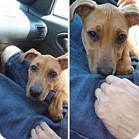 Adopt A Pet :: Harley - Las Vegas, NV
