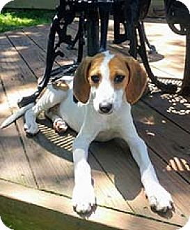 Beagle/Shepherd (Unknown Type) Mix Puppy for adoption in Chantilly, Virginia - Norma's Pup Gendry