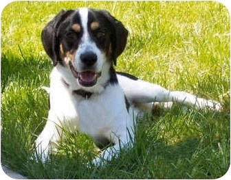 Hound (Unknown Type)/Labrador Retriever Mix Dog for adoption in Latrobe, Pennsylvania - Kirby