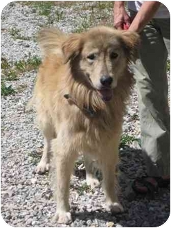 Great Pyrenees/Shepherd (Unknown Type) Mix Dog for adoption in Florence, Indiana - Buck