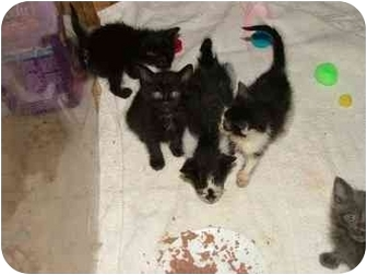 Maine Coon Kitten for adoption in Dallas, Texas - We be LITTLES
