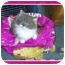 Photo 1 - Domestic Mediumhair Kitten for adoption in Sterling Heights, Michigan - Sweet Pea  ADOPTED!