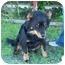 Photo 3 - Australian Shepherd/Schipperke Mix Dog for adoption in Marion, Arkansas - Abby - Urgent!!