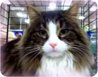 Domestic Mediumhair Cat for adoption in Rochester, Michigan - Amanda