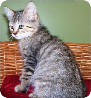 Domestic Shorthair Kitten for adoption in Columbus, Nebraska - Marvin