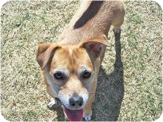 Jack Russell Terrier/Chihuahua Mix Dog for adoption in Patterson, California - LATTE