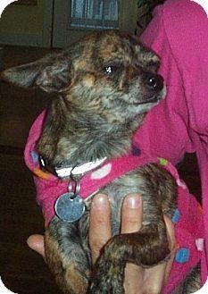 Chihuahua Dog for adoption in Columbia, South Carolina - Moochie