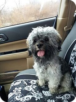 Dandie Dinmont Terrier/Lhasa Apso Mix Dog for adoption in Medfield, Massachusetts - Trevor