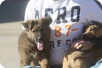 German Shepherd Dog/Australian Shepherd Mix Puppy for adoption in Studio City, California - Mason