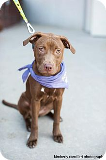 Labrador Retriever/American Pit Bull Terrier Mix Puppy for adoption in Detroit, Michigan - Brie-Adopted!