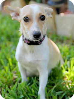Chihuahua/Terrier (Unknown Type, Small) Mix Puppy for adoption in Austin, Texas - Mary Lou Larue