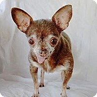 Adopt A Pet :: Grace Kelly (3.5 pounds) - Toluca Lake, CA