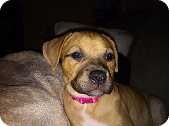 Golden Retriever/Boxer Mix Puppy for adoption in Waterbury, Connecticut - LAYLA