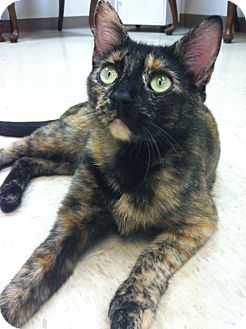 Domestic Shorthair Cat for adoption in Trevose, Pennsylvania - Patches