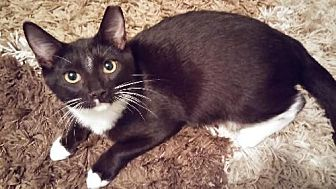 Domestic Shorthair Kitten for adoption in Miami, Florida - Crowley