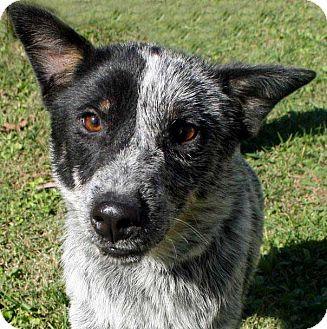 Australian Cattle Dog Mix Dog for adoption in Salem, New Hampshire - JUDY