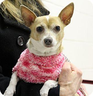 Chihuahua Dog for adoption in Elyria, Ohio - Teco