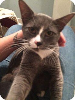 Abyssinian Cat for adoption in Battle Ground, Washington - Sammy