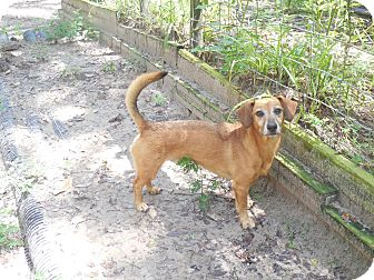 Dachshund Mix Dog for adoption in Old Town, Florida - Cody