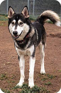 Husky Mix Dog for adoption in Fairfax, Virginia - Ashki