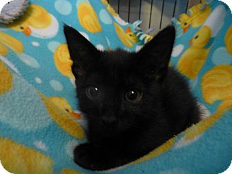 Domestic Shorthair Kitten for adoption in Quincy, California - Joey