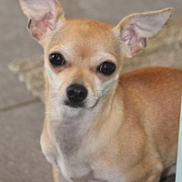Chihuahua Mix Dog for adoption in Lodi, California - Piper