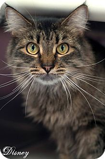 Domestic Mediumhair Cat for adoption in Manahawkin, New Jersey - Disney