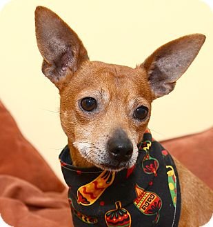 Miniature Pinscher/Terrier (Unknown Type, Small) Mix Dog for adoption in Bowie, Maryland - Adopted! Chilli