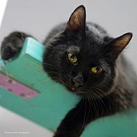 Domestic Mediumhair Cat for adoption in Tucson, Arizona - Ren