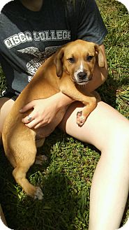 Pointer/Labrador Retriever Mix Puppy for adoption in Arlington, Texas - Whiskey