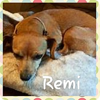 Chihuahua Mix Dog for adoption in Breinigsville, Pennsylvania - Remi