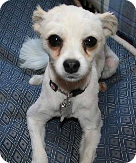 Chihuahua/Pomeranian Mix Dog for adoption in Antioch, California - Pixie