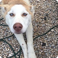 Adopt A Pet :: Koda - Westminster, MD