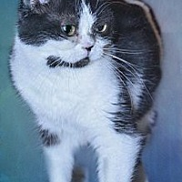 American Shorthair Cat for adoption in Glendale, Arizona - Dorothy Sayers
