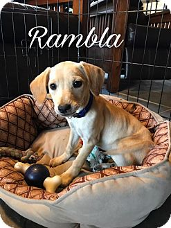Chihuahua Mix Puppy for adoption in Westminster, Colorado - Rambla
