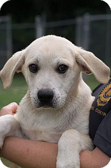 Labrador Retriever Mix Puppy for adoption in Pompton Lakes, New Jersey - Lab mix