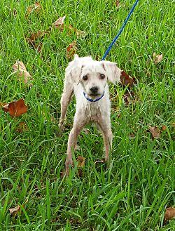 Poodle (Miniature) Dog for adoption in Houston, Texas - OLAF