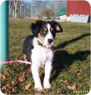 Spaniel (Unknown Type)/Collie Mix Puppy for adoption in Austin, Minnesota - Darla