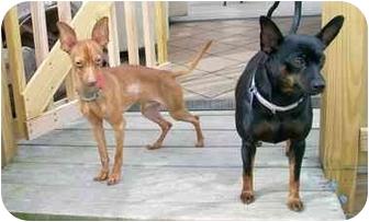 Miniature Pinscher Dog for adoption in Crofton, Maryland - PATRICK