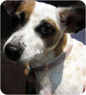 Jack Russell Terrier Mix Dog for adoption in Rhinebeck, New York - Heidi