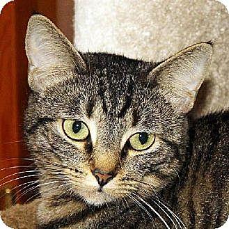Domestic Shorthair Cat for adoption in Ventura, California - Missy