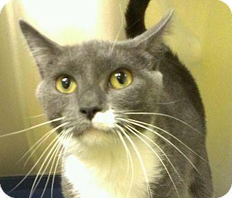 Domestic Shorthair Cat for adoption in Richboro, Pennsylvania - Kate Gosling