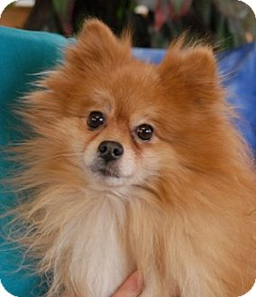 Pomeranian Dog for adoption in Las Vegas, Nevada - Lucky