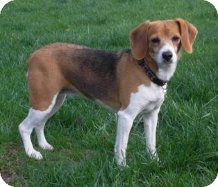 Beagle Mix Dog for adoption in Richmond, Virginia - Little Bit