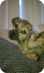 Dachshund/Chihuahua Mix Dog for adoption in Las Vegas, Nevada - Brownie
