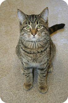 American Shorthair Kitten for adoption in Tiffin, Ohio - BRADLEY