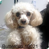 Adopt A Pet :: Buttercup - Greencastle, NC