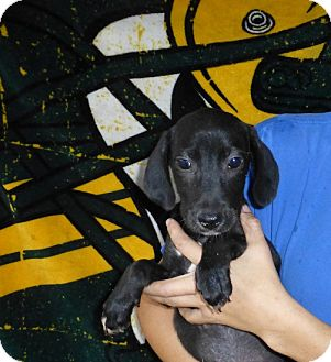 Labrador Retriever Mix Puppy for adoption in Oviedo, Florida - Sara